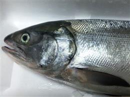 北海道の鮭が美味い!