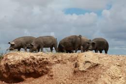 アグー豚を無料見学できる